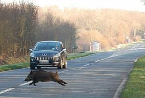 attraversamento fauna selvatica